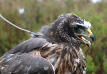 Suspicious disappearance of Calluna the hen harrier